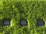 Boston Ivy Covering the Wall of a Building