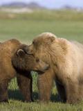 Grizzly Bear (Ursus Arctos Horribilis) Pair Courting, Katmai Nat'l Park, Alaska
