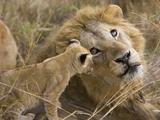 African Lion (Panthera Leo)Cub Playing with Adult Male, Vulnerable, Masai Mara Nat'l Reserve, Kenya