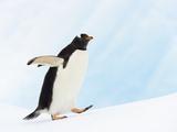 Gentoo Penguin on Iceberg in Gerlache Strait