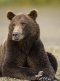 Brown Bear Resting at Kukak Bay in Katmai National Park