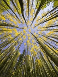Golden Aspen Trees Seen From Below