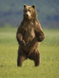 Brown Bear Standing Upright in Meadow at Hallo Bay