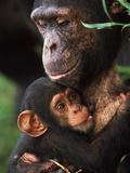 Chimpanzee Mother Nurturing Baby