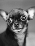 Chihuahua's Face