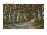 Birch Trees, White Mountains, New Hampshire