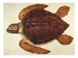 Loggerhead Turtle, 1585