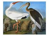 Audubon: Ibis