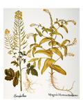 Mustard Plant, 1613