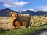 Highland Cattle, Isle of Mull, Inner Hebrides, Scotland, Uk