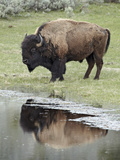Bison (Bison Bison) Reflected in a Pond, Yellowstone National Park, UNESCO World Heritage Site, Wyoming, United States of America, North America