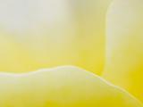Garden Rose, California, Usa