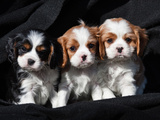 Three Cavalier King Charles Spaniel Puppies Sitting in a Row with Black Background