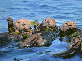 Sea Otters in Kelp, Monterey Bay, California