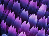 Butterfly Wing Scales, SEM X706