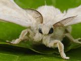 Silk Moth Adult Male (Bombyx Mori)