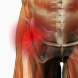 Hip Pain, Human Male Hip Showing Bones And Muscles