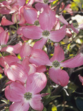 Flowering Dogwood in Bloom (Cornus Florida Forma Rubra), Cherokee Chief Variety