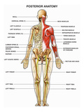 The Human Muscular, Skeletal, and Nervous Systems Shown from a Back