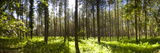 Pine Trees in a Forest, Thetford Forest, Norfolk, England