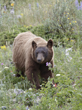Cinnamon Black Bear (Ursus Americanus) Cub, Waterton Lakes National Park, Alberta, Canada
