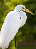 Great Egret (Ardea Alba), Everglades, Florida, United States of America, North America