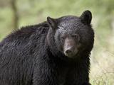 Black Bear (Ursus Americanus), Yellowstone National Park, Wyoming, USA, North America
