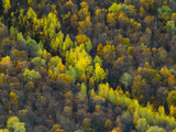 Birch Trees Holding onto their Leaves as Fall Passes its Peak