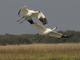 A Pair of Whooping Cranes Taking Off from Wintering Grounds
