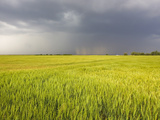 A Thunderstorm with Dark Clouds Rolls over a Sunlit Wheat Field