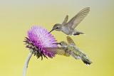 Black-Chinned Hummingbird Females Feeding at Flowers, Texas, USA