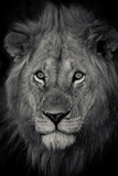 An Adult Lion Sits and Waits for Night to Fall in the Fading Light