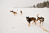 Siberian Husky Sled Dogs Wearing Sled Harnesses Wait to Pull a Sled Over a Frozen Lake