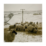 Sheep Feeding On Straw in Snowy Landscape. Ponden Moor, 1987