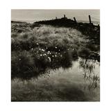 Bog Cotton, Bridestones Moor