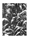 Corn Plants, Mexico, c.1929