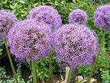Allium Flower (Allium Sp.)