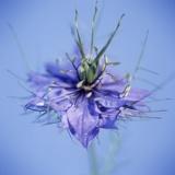 Love In the Mist Flower (Nigella Sp.)