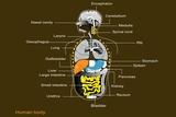 Human Internal Organs, Diagram
