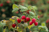 Ripe Fruit Hanging From a Raspberry Bush