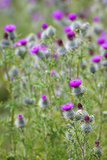 Spear Thistle (Cirsium Vulgare)