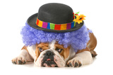 Funny Dog - English Bulldog Dressed Up Like A Clown Isolated On White Background