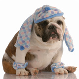 Bulldog Wearing Hat And Scarf