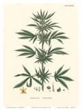 Cannabis Sativa - Common Hemp