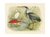Heron and Ibis