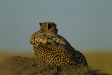 A Juvenile Cheetah, Acinonyx Jubatus, Lies Draped over the Side of its Mother on a Dirt Mound