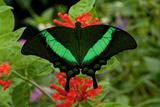An Emerald Swallowtail Butterfly, Papilio Palinurus