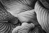 Close-Up of Big Hosta Leaves Covering Each Other