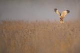 Marsh Harrier (Circus Aeruginosus) Adult Male in Flight Hunting over Reedbed at Dawn, Norfolk, UK