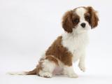 Blenheim Cavalier King Charles Spaniel Puppy, 11 Weeks